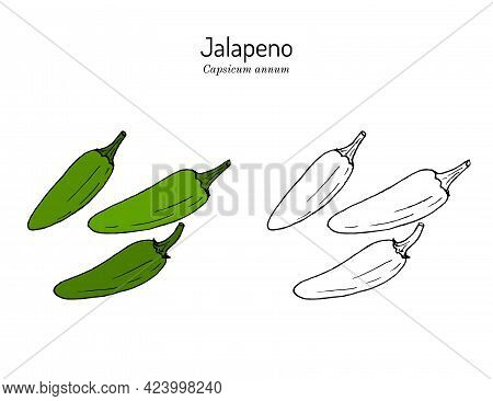 Jalapeno Capsicum Annuum , Official State Pepper Of Texas. Vector Hand Drawn Illustration