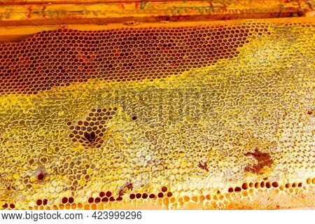 Beekeeper Is Holding Closed Up Honeycomb Full With Honey On Wooden Frame.