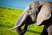 Elephant portrait close-up on African savanna. Safari in Amboseli, Kenya, Africa poster