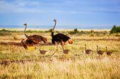 Ostrich family walking on savanna in Africa. Safari in Amboseli, Kenya poster