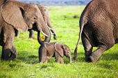 Elephants family on African savanna. Safari in Amboseli, Kenya, Africa poster