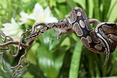 Royal Python snake rested on a wooden branch poster