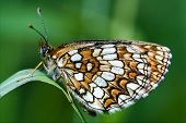 wild orange butterfly on a green leaf in the bush poster
