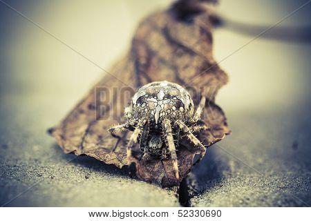 Big Orb Spider On The Leaf