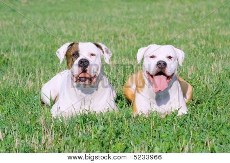 American Bulldogs On The Grass