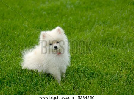White Pomeranian Puppy On Lawn With Room For Text