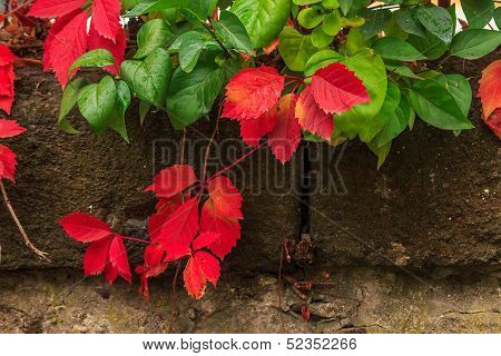 Plant With Red And Green Leaves On Stone Wall