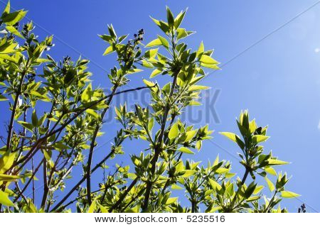 Lilac New Foliage In Spring (bush On Blue Background)
