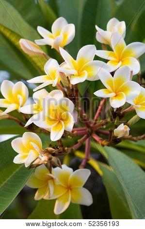 Beautiful Frangipane Flowers