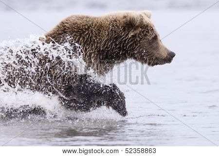 A coastal brown bear runs through a tidal pool chasing salmon at Lake Clark NP Alaska poster