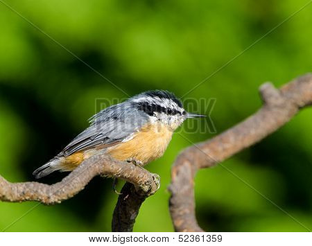 Red-breasted Nuthatch, B,C., Canada