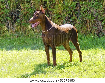 Doberman Pinscher (brown)