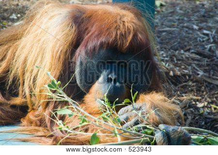 Bamboo Munching Orangutang