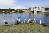 seagulls near a pond in the center of Reykjavik poster
