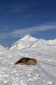 Dog sleeping on ski slope. Caucasus Mountains Georgia ski resort Gudauri. poster