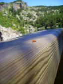 The lonely ladybird creeps away on a wooden surface poster