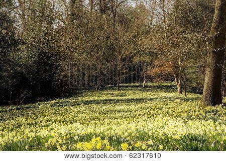 Field Of Daffodil