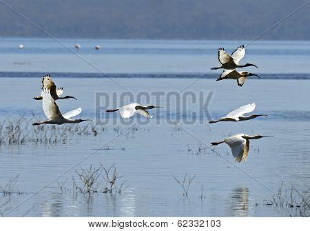 A Flock Of Ibises