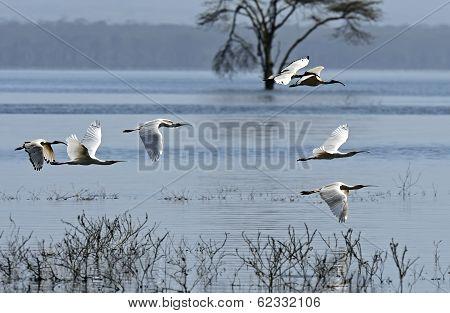A flock of Ibises in a natural habitat. Kenya . Lake Nakuru . poster