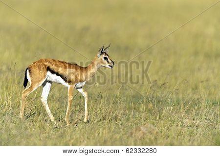 African Grant Gazelle in Amboseli National Park . Kenya poster
