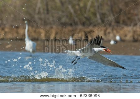 Caspian Tern Taking To The Air With Fish After A Dive