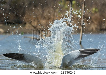 Caspian Tern Wings With A Pretty Impressive Splash