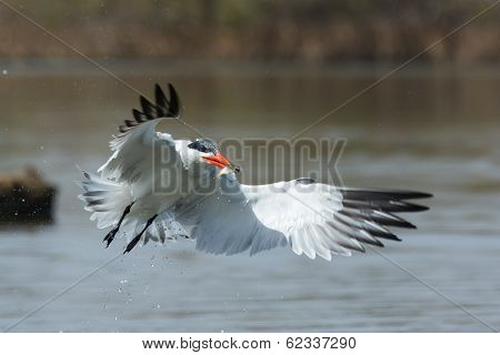 Dripping Wet Caspian Tern In Flight With Fish