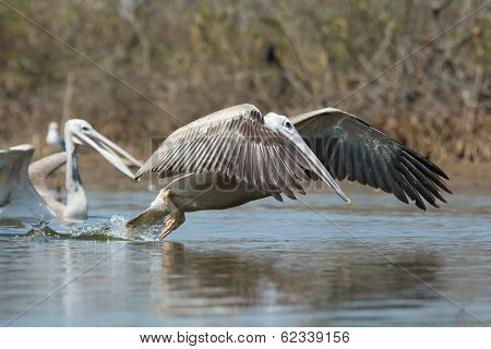 A Pink-backed Pelican (Pelecanus rufescens) in the air making a lunge for fish poster