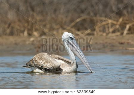 A Pink-backed Pelican (Pelecanus rufescens) serenely floating in the mangroves poster