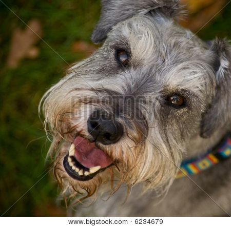 Smiling happy miniature schnauzer dog close up portrait outdoors shallow depth of field poster