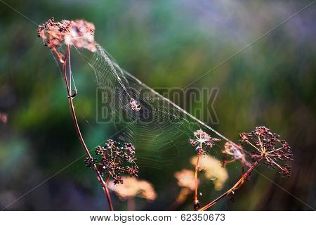 Spider on its web of between three flowers