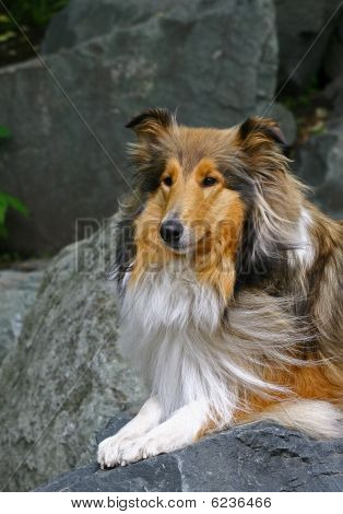 Red collie on the stone in Japans garden poster