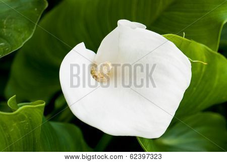 White Calla Lily Flower (zantedeschia)