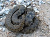 Snake curled on a sand. poster