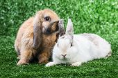 white and brown bunnies playing on a green lawn poster