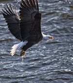 American bald eagle catches fish in its talons.  Backlit image of the United States National symbol. poster