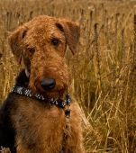 Bashful airedale terrier dog sitting in the middle of a wheat field poster
