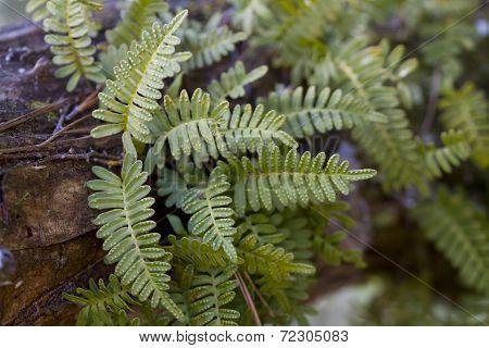 Resurrection Ferns - Pleopeltis polypodioides