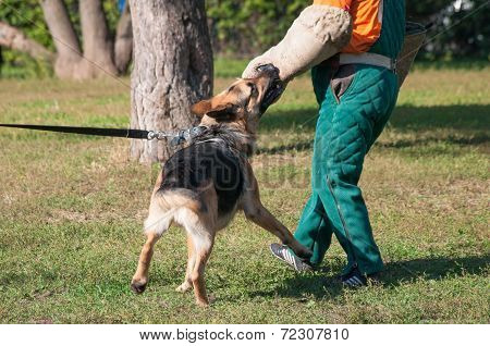 poster of German Shepherd dog attacking on the dog training course