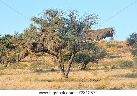 Camelthorn Tree With Community Nest