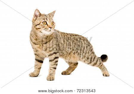 Portrait Scottish Straight cat