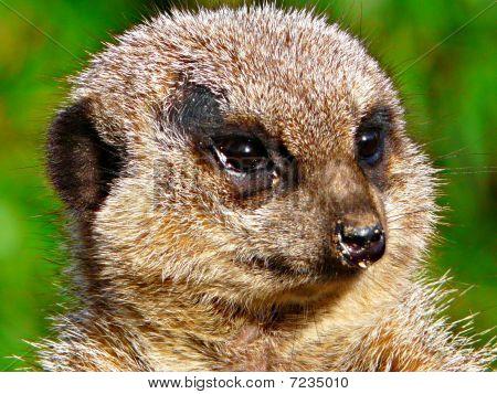 Meerkat close-up