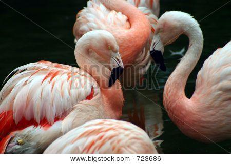 FlamingosinWhite