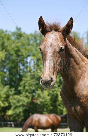 Portrait of a pretty purebred foal in summer pasture