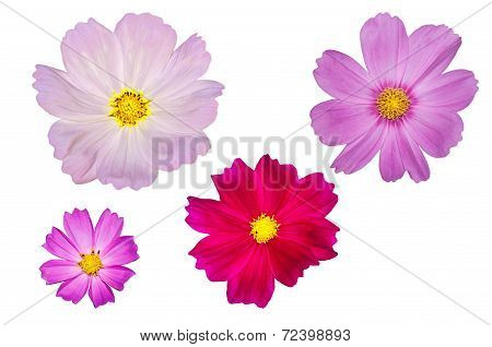 Blooming Cosmos Flowers Isolated On White Background.