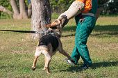 German Shepherd dog attacking on the dog training course poster