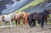 Isolated icelandic horses in the countryside of Landmannalaugar poster