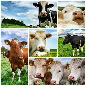 Agricultural collage with various cows looking at camera poster