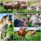 Agricultural collage with various farm animals at green fields poster