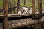Lonely dog sleeping on the bridge in the forest poster